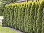pin hecke thuja occidentalis smaragd teu0380 smaragdthuje on pinterest. Black Bedroom Furniture Sets. Home Design Ideas